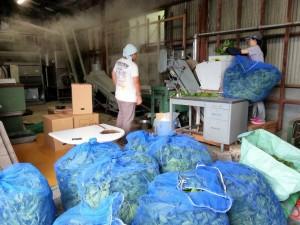 収穫した桑の葉の製茶作業